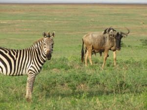 zebra and wildebeast