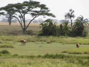lions in savana