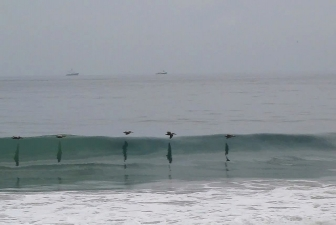 surfing birds